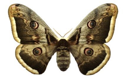 confidence moth