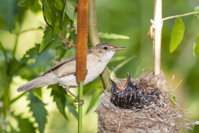 cuckoo in nest