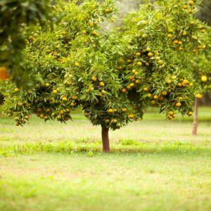 frui tree